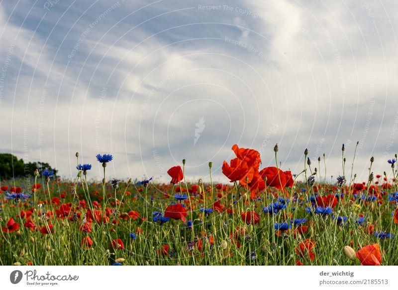 Mohn- und Kornblumenfeld Umwelt Natur Landschaft Pflanze Himmel Schönes Wetter Blume Wiese Feld positiv schön blau grün rot weiß Leben ästhetisch Farbe Horizont