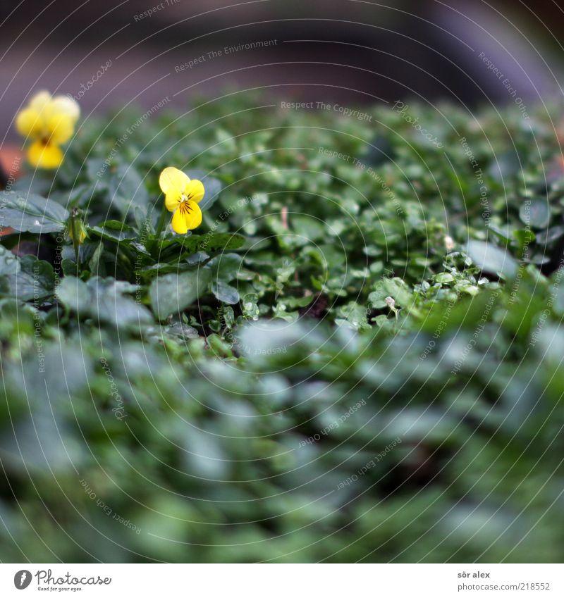 hartnäckige Stiefmütterchen Pflanze Herbst Blume Blatt Blüte Stiefmütterchenblüte Blühend Wachstum Duft schön gelb grün Oktober Farbfoto Außenaufnahme