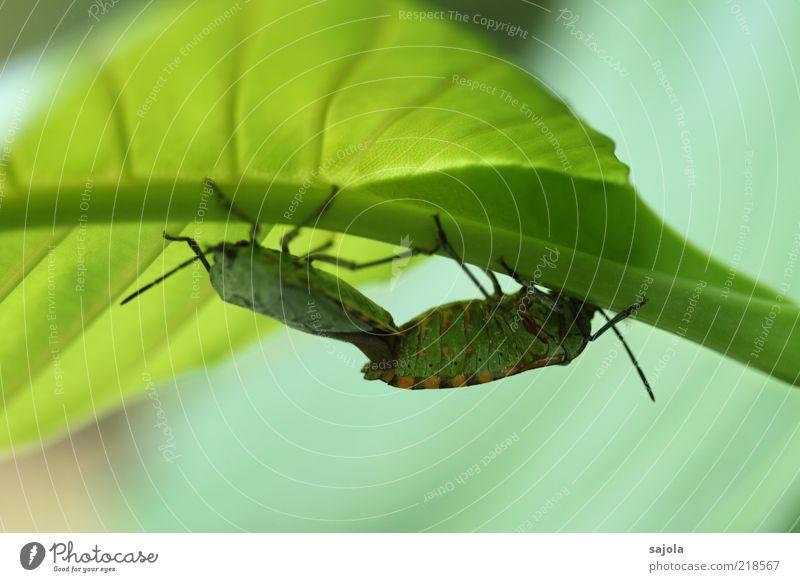 zeit für zweisamkeit Natur grün Pflanze Blatt Tier Zusammensein Tierpaar Umwelt Insekt festhalten Wildtier Käfer Makroaufnahme Blattadern