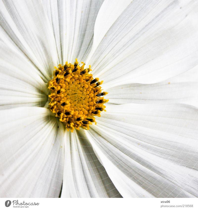 strahlender morgen Natur Pflanze Frühling Sommer Blume Blüte weiß Farbfoto Außenaufnahme Nahaufnahme Detailaufnahme Morgen Tag Blütenblatt Makroaufnahme