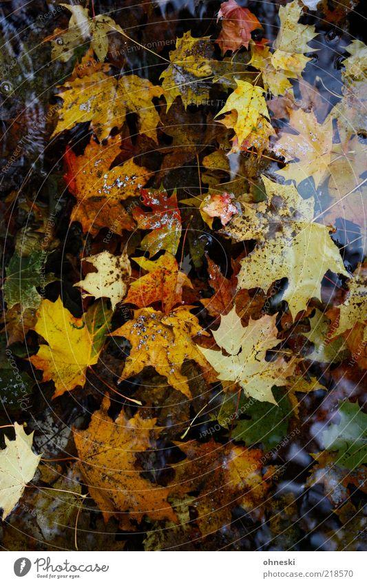 Ins Wasser gefallen Natur Pflanze Herbst Blatt Ahornblatt Verfall Vergänglichkeit Pfütze Farbfoto mehrfarbig Reflexion & Spiegelung Vogelperspektive Herbstlaub