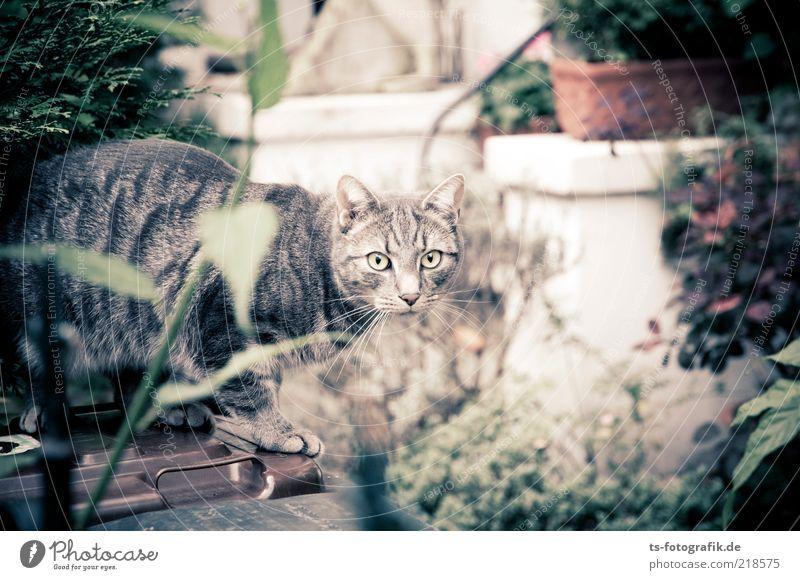 Blickkontakt Pflanze Blatt Tier Garten Katze Sträucher Tiergesicht Neugier niedlich Haustier Hinterhof Müllbehälter Hauskatze Grünpflanze Topfpflanze Vorgarten