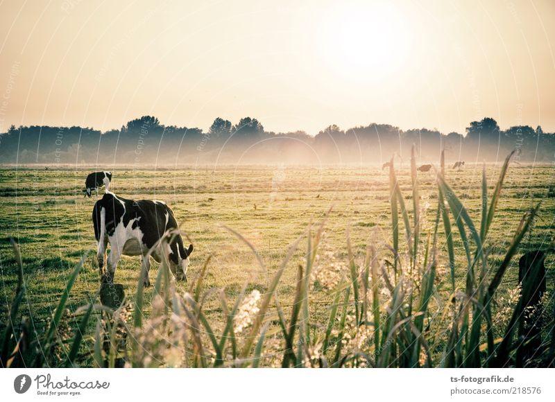 Oktoberwiese II Himmel Natur grün schön Pflanze Tier Wiese Landschaft Umwelt Gras Nebel frei natürlich Landwirtschaft Kuh Schilfrohr