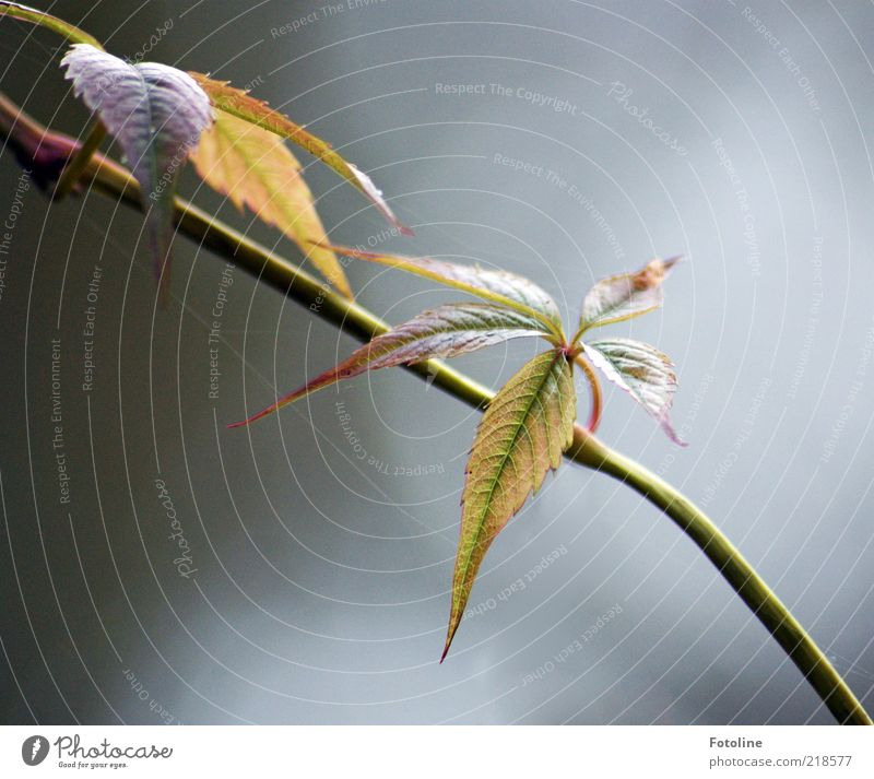 Wein im Herbstgewand Umwelt Natur Pflanze Blatt Wildpflanze hell natürlich wild grün rot Wilder Wein Ranke Kletterpflanzen herbstlich Herbstfärbung Farbfoto
