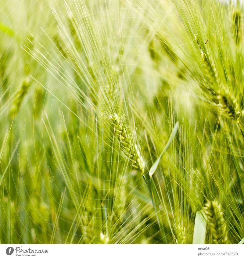 strahlendes grün Natur grün Pflanze Sommer Landschaft Feld Umwelt natürlich ökologisch Ähren Grünpflanze hellgrün