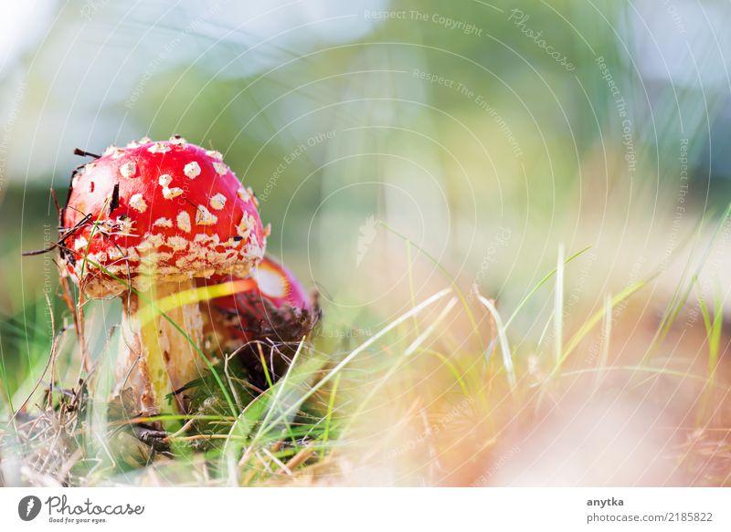 Amanita muscaria schön Dekoration & Verzierung Natur Pflanze Herbst Gras Wald Wachstum natürlich wild grün rot gefährlich Fliegenpilz amanita Punkt Pilz Gift