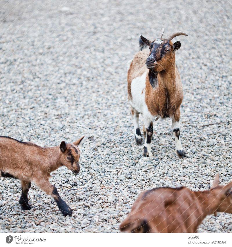 na, wo ist der böse wolf? Tier klein Tiergruppe authentisch natürlich Neugier niedlich Horn frech Zicklein Herde Ziegen Nutztier Tierjunges Kinnbart Streichelzoo
