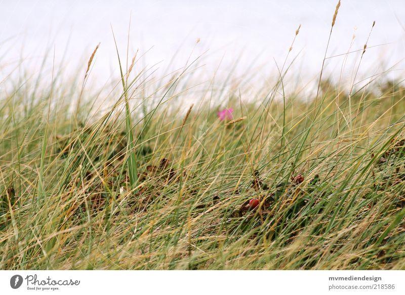Dünengras Natur Landschaft Pflanze Wind Gras Küste Naturschutzgebiet Lebensraum Sommer Gedeckte Farben Farbfoto