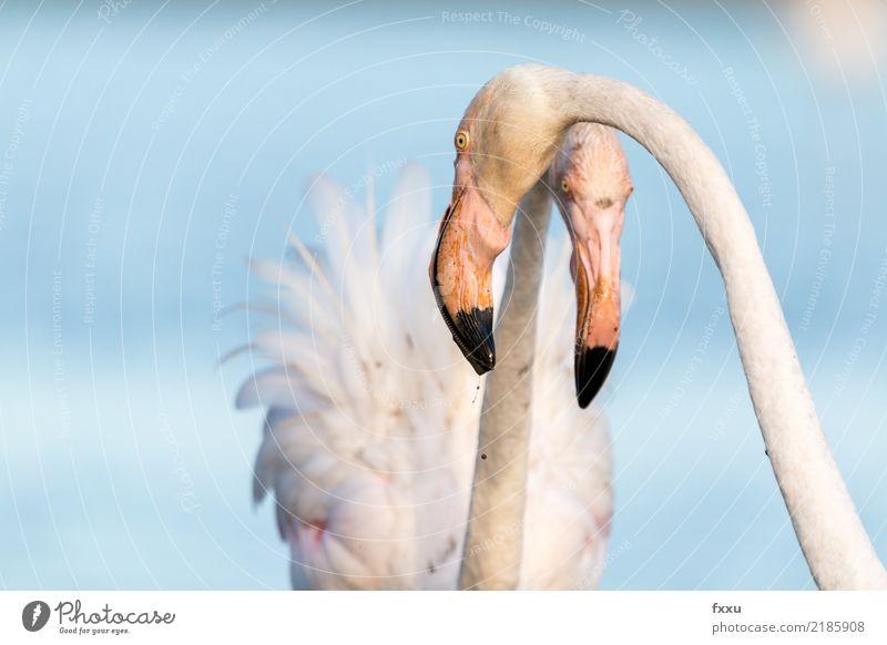 Flamingos Natur Tier Vogel rosa wild Wildtier Feder beobachten Lebewesen Frankreich exotisch tropisch