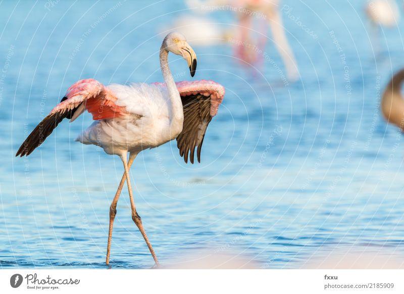 Flamingo mit ausgebreiteten Flügeln Frankreich Wildtier wild rosa Natur exotisch Tier tropisch Nahaufnahme Vogel Feder Lebewesen beobachten