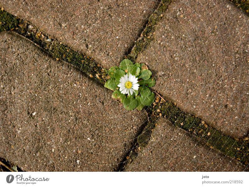 unkraut vergeht nicht Natur Blume Pflanze Freude ruhig Einsamkeit Blüte Wege & Pfade lustig Hintergrundbild Umwelt Fröhlichkeit Platz Wachstum einzigartig