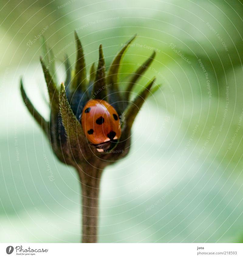 man beachte das kleine herz Natur Pflanze Blume Tier Käfer Marienkäfer krabbeln sitzen ästhetisch Neugier niedlich rot Sicherheit Schutz Geborgenheit Romantik