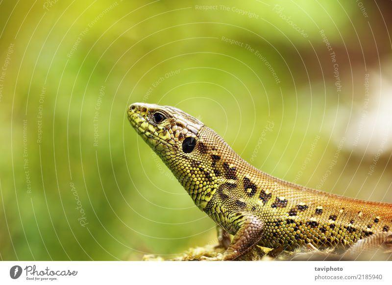Lacerta agilis Makroporträt Natur Mann Farbe schön grün Tier Gesicht Erwachsene Umwelt natürlich klein braun Sand wild Haut niedlich
