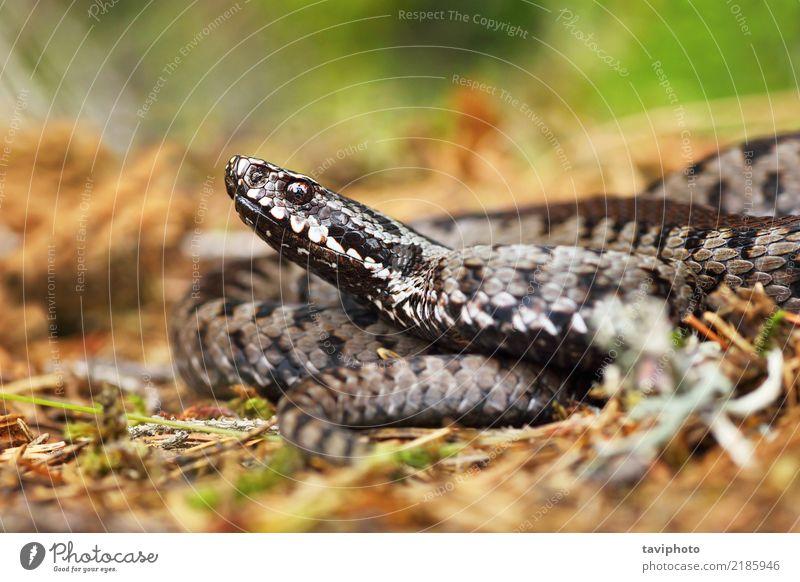giftige Viper auf dem Boden Natur schön Tier Gesicht grau braun Angst wild Wildtier gefährlich Lebewesen Europäer Gift Reptil Schlange
