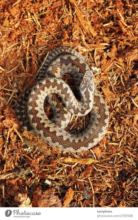 Vipera berus, das auf Waldboden steht Natur schön Tier natürlich braun Angst wild Wildtier gefährlich Boden Lebewesen Europäer Gift Reptil Schlange