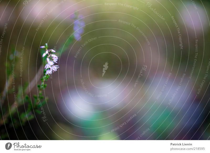 Augentrost Natur schön Blume Pflanze Sommer Blüte Stimmung elegant Wetter Umwelt weich natürlich Stengel entdecken genießen