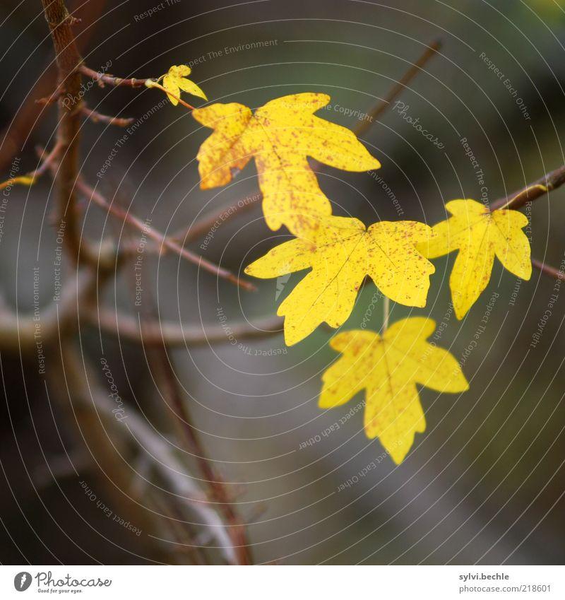 herbst Natur Pflanze Blatt gelb kalt Herbst braun Umwelt Wandel & Veränderung fallen Vergänglichkeit Ast kahl Herbstlaub Überleben schlechtes Wetter