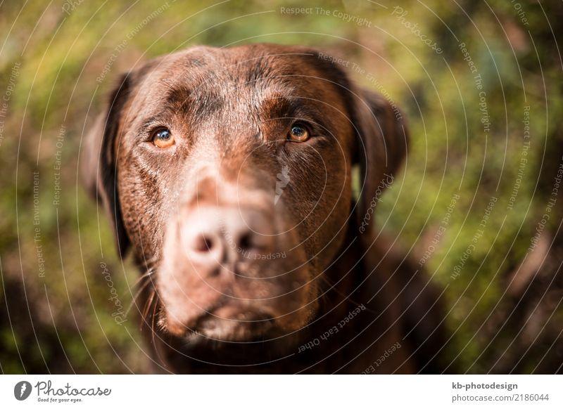 Portrait of a brown Labrador dog Tier Hund Tiergesicht 1 füttern Dog Animal Domestic animal Obedience views Mammal Friend Dog sports Fur Hound Forest Autumn