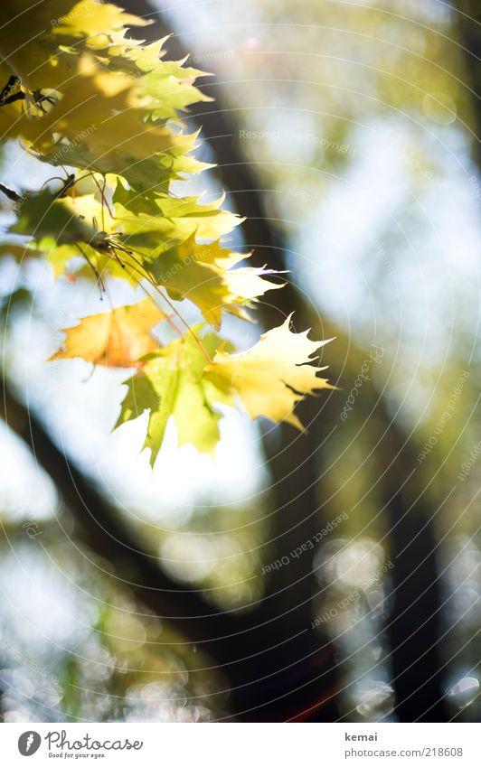 So schön ist der Herbst Natur Baum grün Pflanze Sommer Blatt gelb Wald Wärme hell Umwelt Wachstum Lebensfreude leuchten Baumstamm