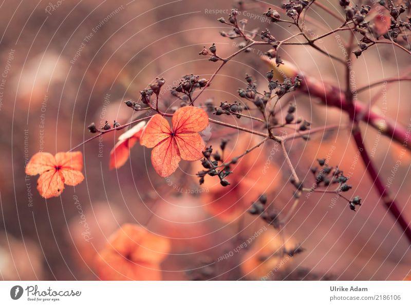 Verblühte Hortensien Natur Pflanze Blume rot Erholung ruhig Blüte Herbst Traurigkeit Innenarchitektur Garten orange Design Zufriedenheit Park leuchten
