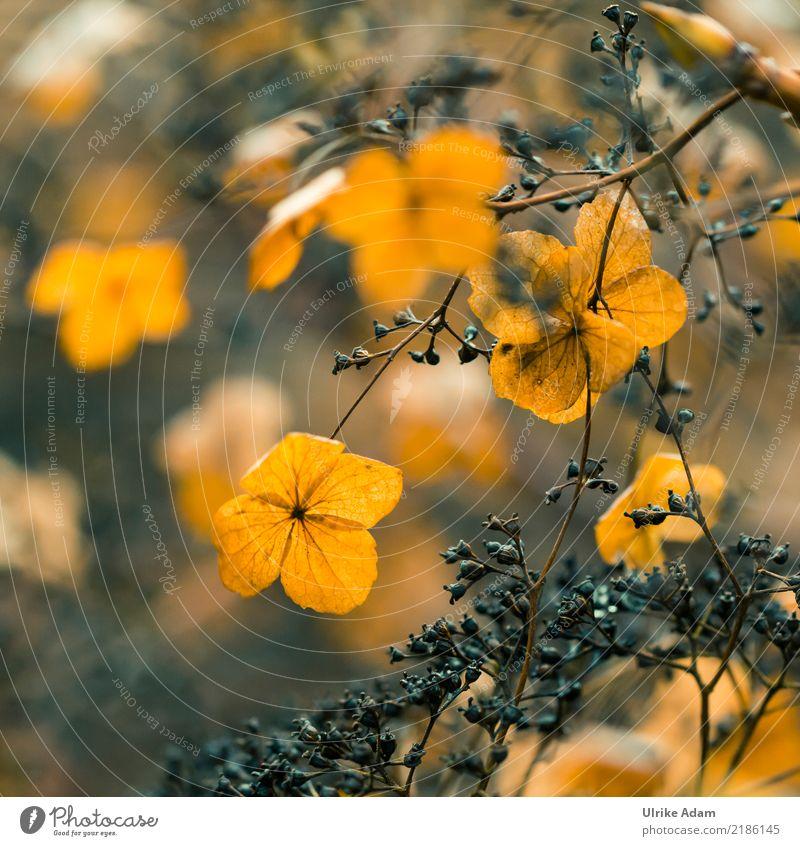 Verblühte Hortensien Natur Pflanze Blume ruhig Wärme Blüte Herbst Garten Tod braun orange Park leuchten Vergänglichkeit Hoffnung Trauer