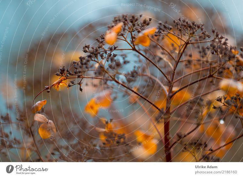Hortensien im Herbst Natur Pflanze blau schön Blume Blatt Blüte Garten braun orange Park leuchten glänzend Sträucher Vergänglichkeit