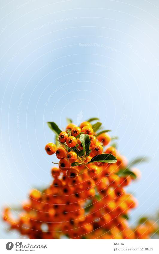 Beerenbrüder Umwelt Natur Pflanze Himmel Wildpflanze Vogelbeeren hängen Wachstum natürlich blau Perspektive orange Farbfoto mehrfarbig Außenaufnahme Nahaufnahme