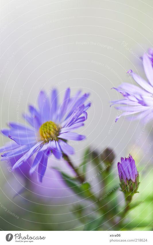 postkartenmorgen Natur Pflanze Blume Blüte blau grau violett Farbfoto Außenaufnahme Nahaufnahme Detailaufnahme Textfreiraum oben Schwache Tiefenschärfe