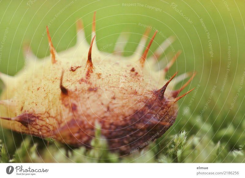 Igelchen Umwelt Natur Herbst Moos Rosskastanie Samen Hülle Kastanienigel alt fallen liegen klein grün Lebensfreude Vorfreude Romantik Traurigkeit Einsamkeit