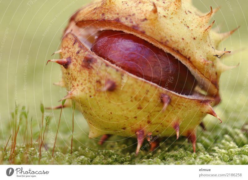 Glubschi Natur Herbst Moos Rosskastanie Kastanie Igel Kapsel Park frech kaputt rund stachelig Freude Fröhlichkeit Romantik Design entdecken Erwartung