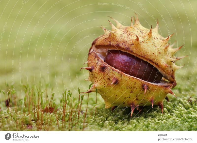 geplatzt Umwelt Natur Herbst Moos Rosskastanie Kastanie Kapsel Frucht Igel Stachel Park liegen authentisch bedrohlich elegant frech nah rund stachelig braun