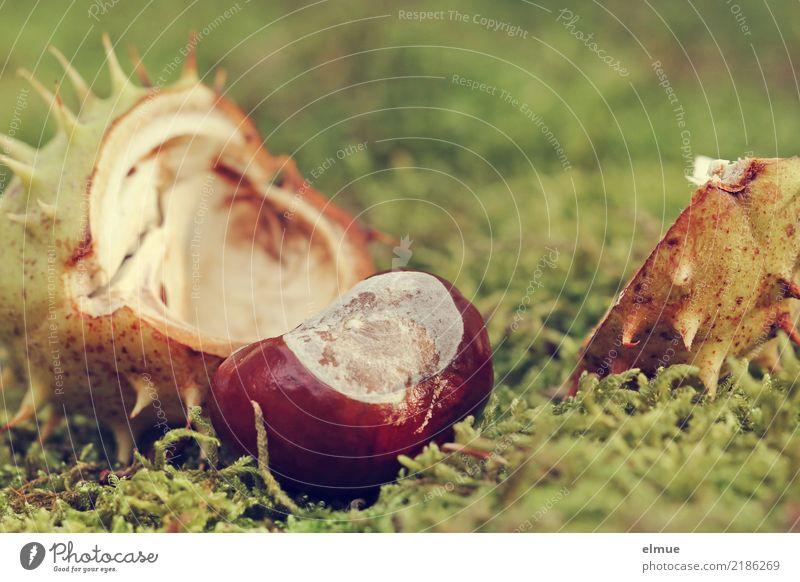entbunden Umwelt Natur Herbst Moos Rosskastanie Kastanie Samen Frucht Igel Park liegen braun grün Glück Lebensfreude Romantik Beginn Design Hoffnung Idee