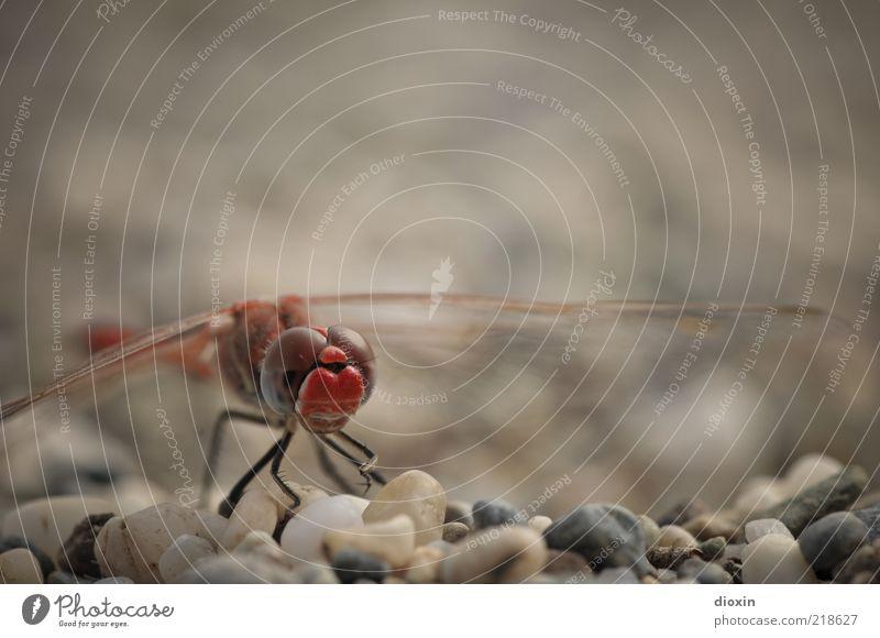Sympetrum meridionale (Männchen) Kieselsteine Kieselstrand Tier Tiergesicht Libelle Libellenflügel Facettenauge 1 hocken sitzen rot Natur filigran klein