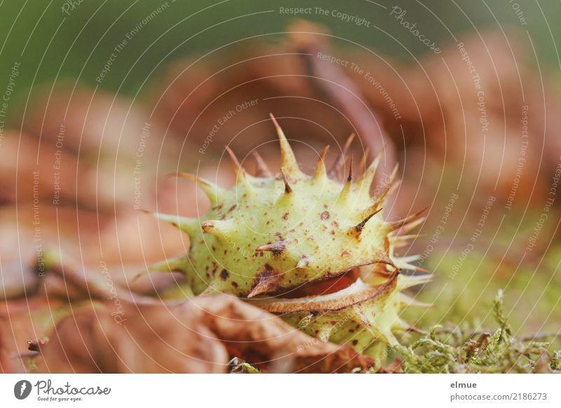unter Beobachtung Natur Herbst Moos Blatt Rosskastanie Frucht Samen Kastanie Park Igel Schatz fallen liegen braun Freude Lebensfreude Neugier gefräßig Senior