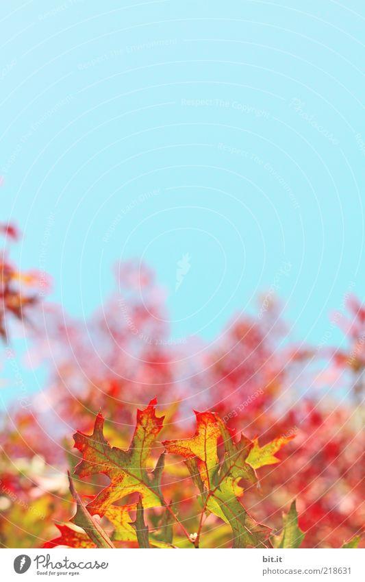 flammender Herbst... Natur Landschaft Pflanze Luft Himmel Wolkenloser Himmel Wetter Blatt blau gelb gold rot Kitsch Vergänglichkeit Wachstum
