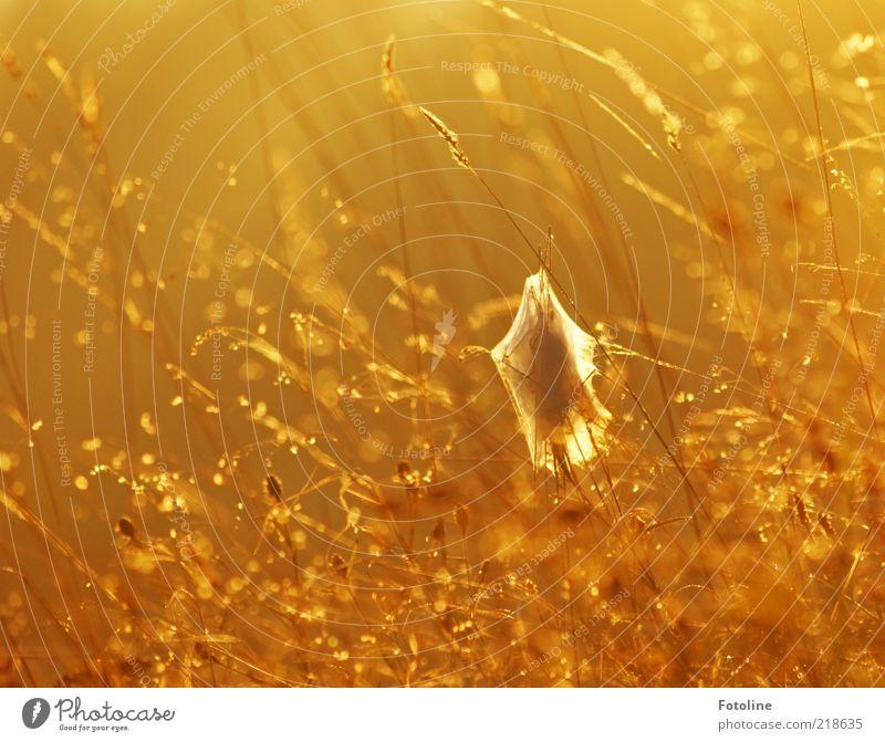 Morgens halb 8 in Deutschland Umwelt Natur Pflanze Urelemente Wasser Wassertropfen Herbst Gras hell nass natürlich gelb gold orange Kokon Spinngewebe Farbfoto
