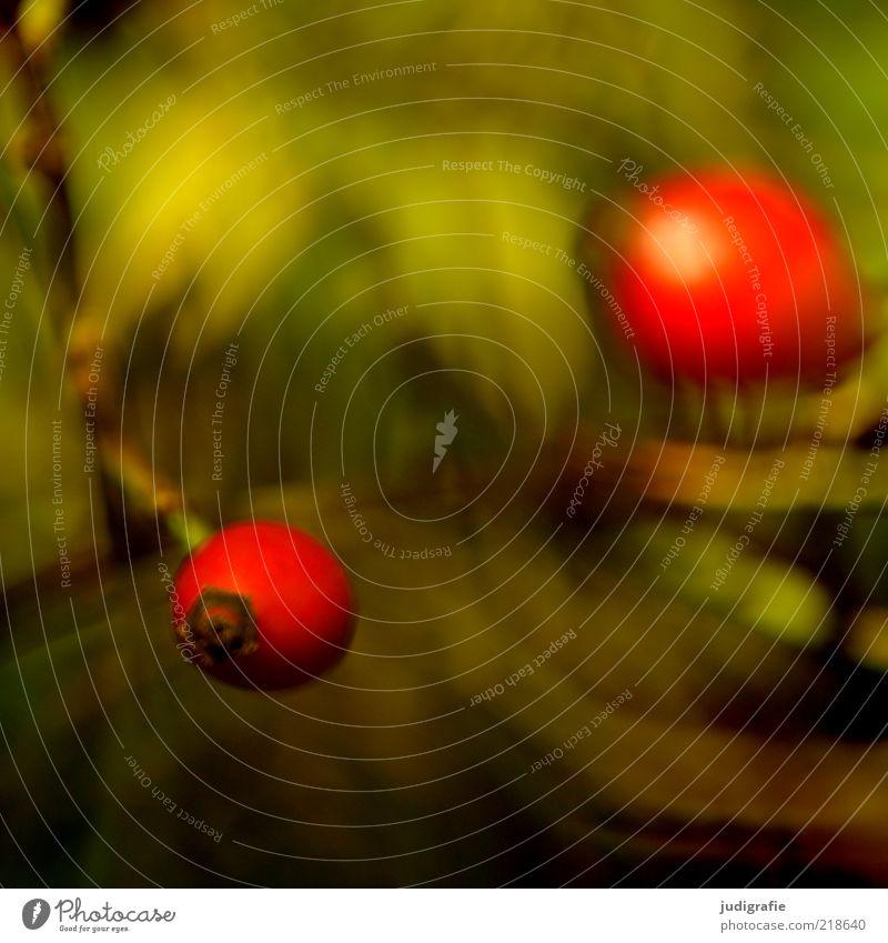 Rot Umwelt Natur Pflanze Herbst Wildpflanze Frucht Wachstum natürlich rot Heilpflanzen Farbfoto Außenaufnahme Tag Unschärfe Hundsrose