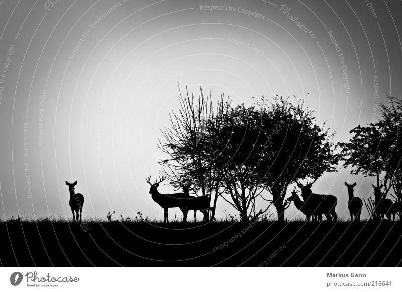 Rotwild am Morgen Natur Landschaft Wetter schlechtes Wetter Nebel Wiese Wald Tier Wildtier Tiergruppe Herde grau schwarz weiß Hirsche Reh Sträucher Baum