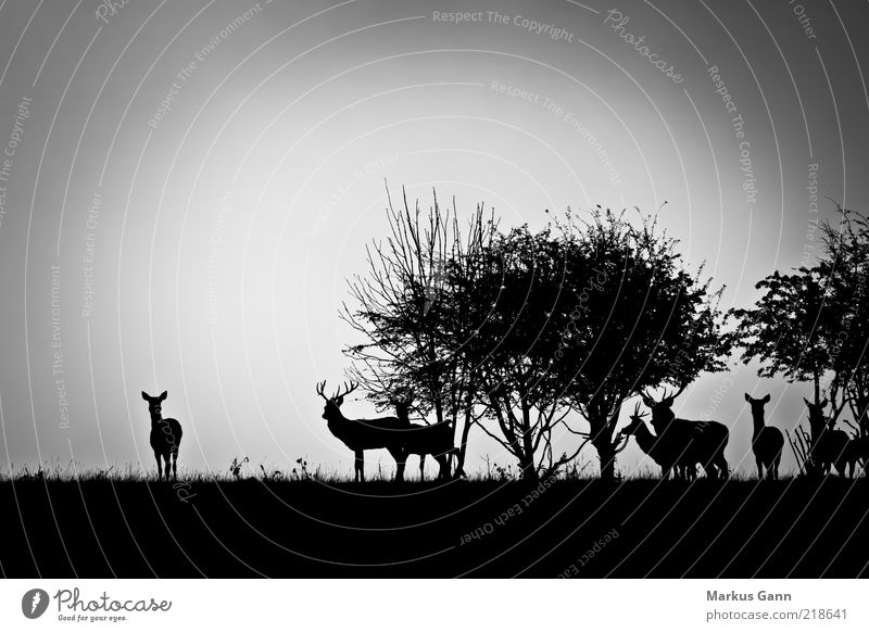 Rotwild am Morgen Natur weiß Baum schwarz Tier Wald Wiese Landschaft Gras grau Wetter Nebel Sträucher Tiergruppe Wildtier Horn