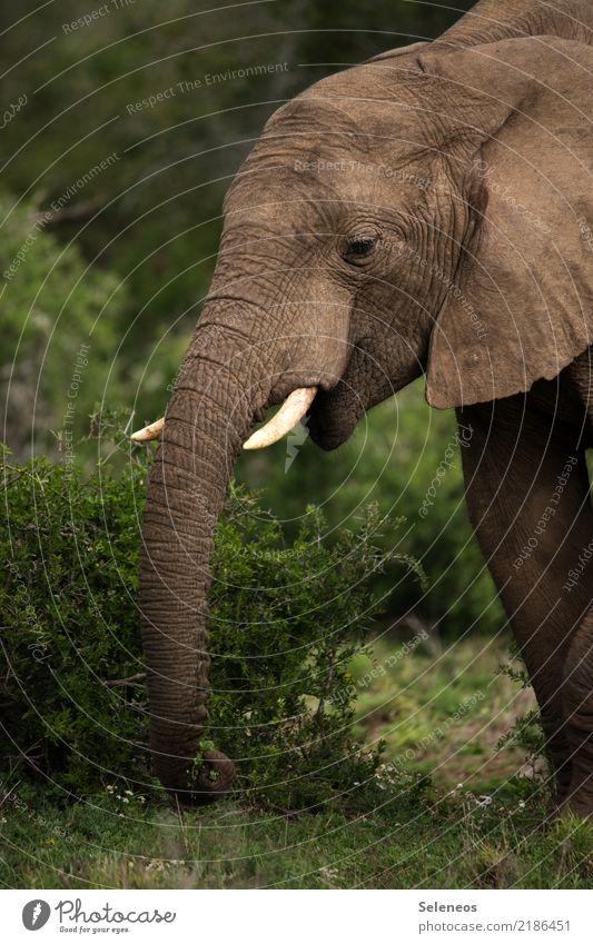 grauer Riese Ferien & Urlaub & Reisen Tourismus Ausflug Abenteuer Ferne Freiheit Safari Expedition Sommerurlaub Natur Tier Wildtier Tiergesicht Elefant