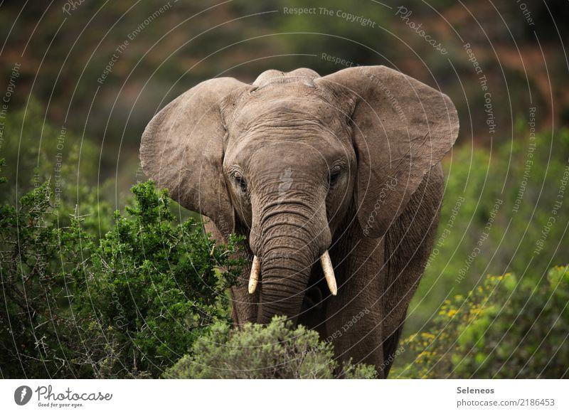 kleiner Grauer Ferien & Urlaub & Reisen Tourismus Ausflug Abenteuer Ferne Safari Expedition Sommer Sommerurlaub Umwelt Natur Sträucher Tier Wildtier Tiergesicht