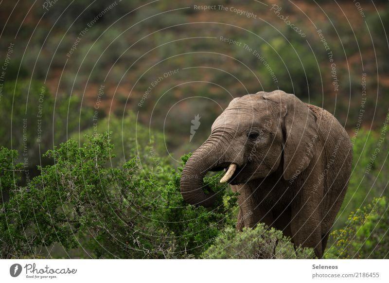 kleiner Happen zwischendurch Ferien & Urlaub & Reisen Tourismus Ausflug Abenteuer Ferne Safari Sommer Umwelt Natur Sträucher Tier Wildtier Tiergesicht Elefant