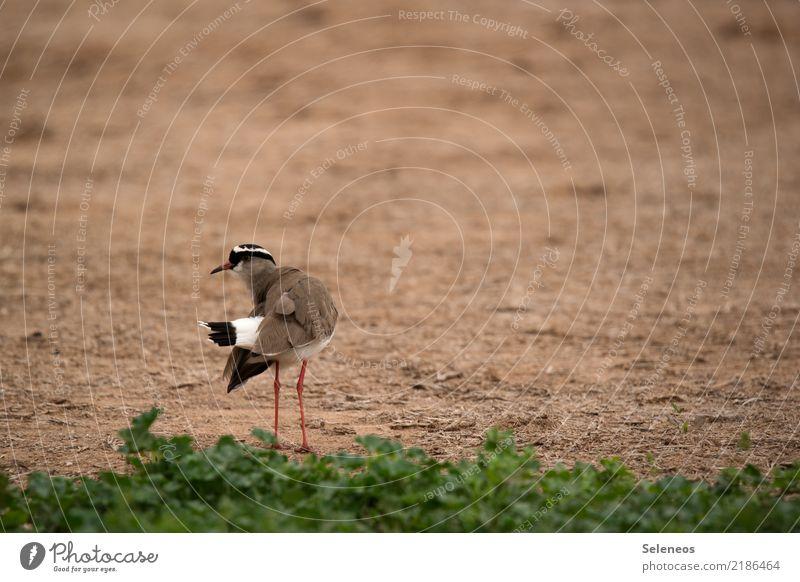 Kronenkiebitz Freiheit Sommer Umwelt Natur Gras Tier Wildtier Vogel Tiergesicht Kiebitz 1 natürlich Ornithologie Farbfoto Außenaufnahme Menschenleer