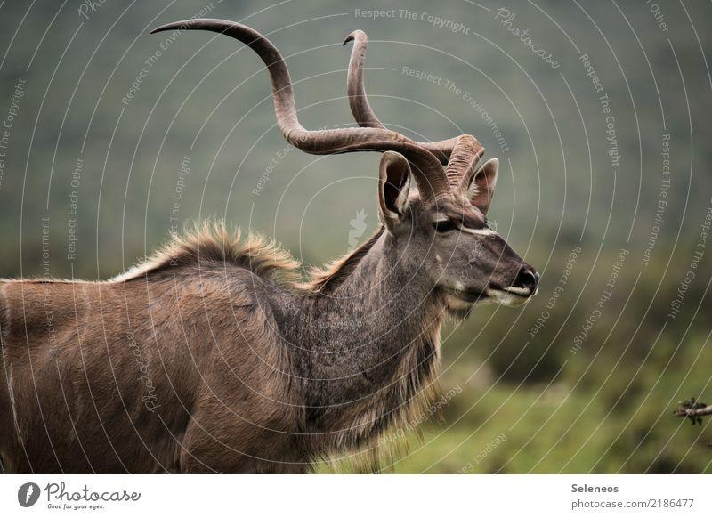 Korkenzieher Ferien & Urlaub & Reisen Tourismus Ausflug Abenteuer Ferne Freiheit Safari Expedition Natur Tier Wildtier Tiergesicht Horn Antilopen Kudu 1 frei