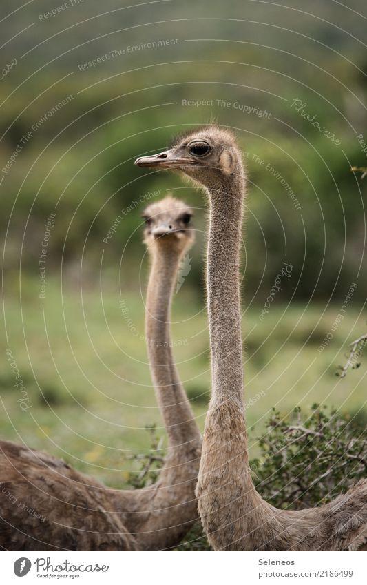 totale Überwachung Ferien & Urlaub & Reisen Tourismus Ausflug Abenteuer Ferne Freiheit Safari Expedition Sommerurlaub Tier Wildtier Vogel Tiergesicht Strauß 2
