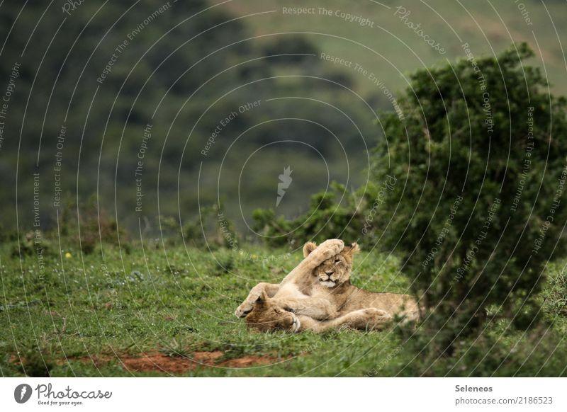 tobende Könige Ferien & Urlaub & Reisen Tourismus Ausflug Abenteuer Ferne Freiheit Safari Umwelt Natur Tier Wildtier Tiergesicht Löwe 2 Tierjunges Spielen frech