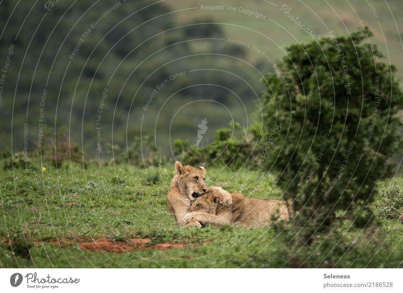 Geschwisterliebe Ferien & Urlaub & Reisen Tourismus Ausflug Abenteuer Ferne Expedition Umwelt Natur Sträucher Tier Wildtier Löwe 2 Tierjunges Spielen toben frei
