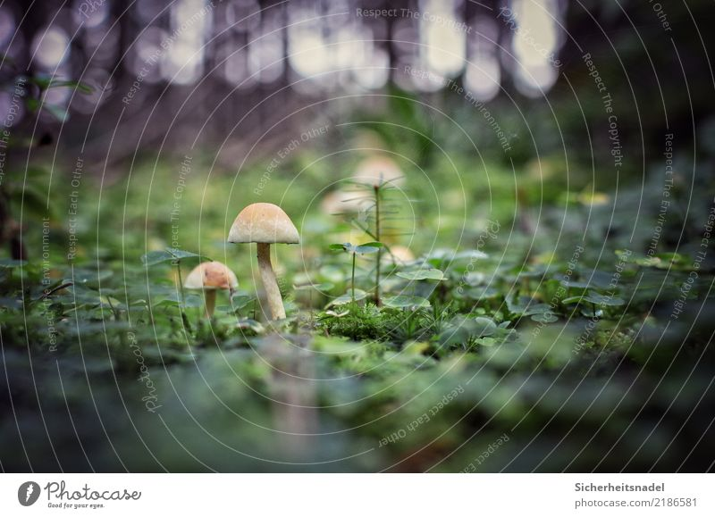 Pilze im Wald Starke Tiefenschärfe Moos Natur Pflanze Außenaufnahme Farbfoto Menschenleer grün Umwelt Nahaufnahme Waldboden Froschperspektive Wachstum