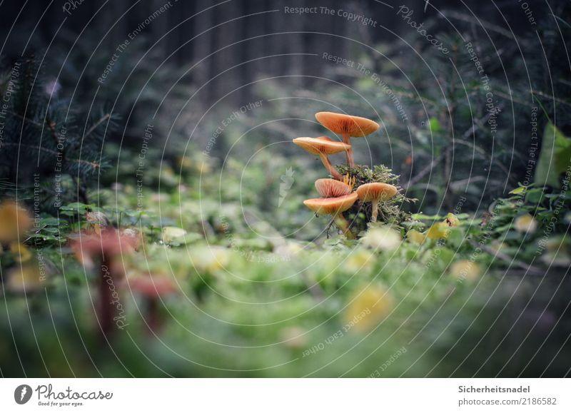 Im Märchenwald Umwelt Natur Herbst Pflanze Moos Blatt Grünpflanze Tannenzweig Pilz Wald Moor Sumpf Wachstum fantastisch Festbrennweite Nikon Farbfoto