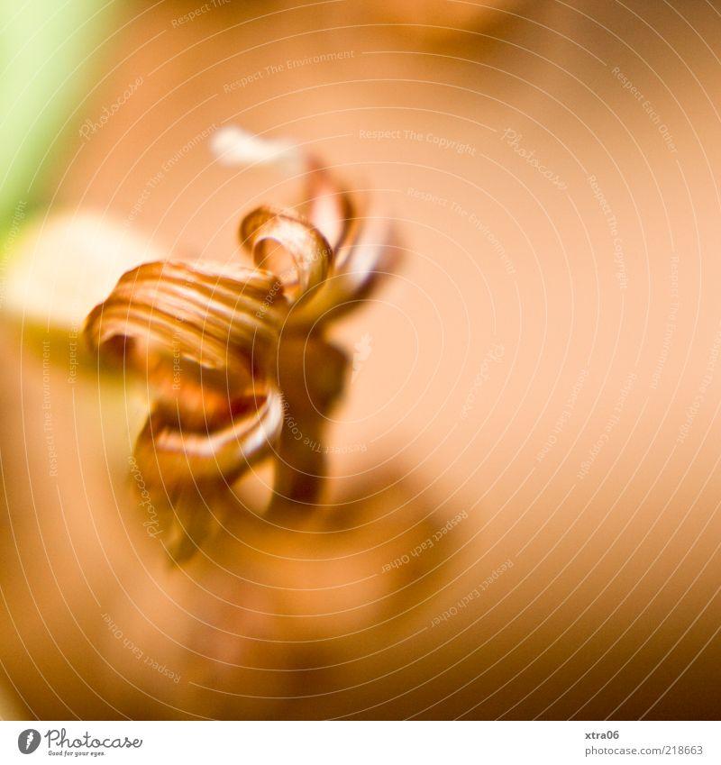 herbstlich alt Blume Pflanze Blatt Blüte Stengel Spirale vertrocknet verblüht Unschärfe